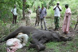 Young elephant shot by poachers